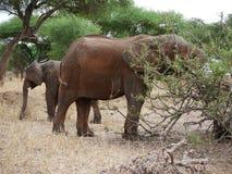 Elephants on Tarangiri-Ngorongoro Safaris in Africa. Elephants in Tarangiri-Ngorongoro Africa Safari, safari elephants, savanna, elephants in the natural Royalty Free Stock Images