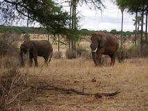 Elephants on Tarangiri-Ngorongoro Safaris in Africa. Elephants in Tarangiri-Ngorongoro Africa Safari, safari elephants, savanna, elephants in the natural Stock Images