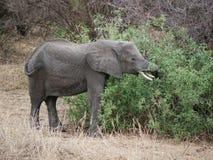 Elephants on Tarangiri-Ngorongoro Safaris in Africa. Elephants in Tarangiri-Ngorongoro Africa Safari, safari elephants, savanna, elephants in the natural Stock Photos