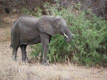 Elephants on Tarangiri-Ngorongoro Safaris in Africa. Elephants in Tarangiri-Ngorongoro Africa Safari, safari elephants, savanna, elephants in the natural Royalty Free Stock Image