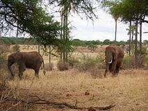 Elephants on Tarangiri-Ngorongoro Safaris in Africa. Elephants in Tarangiri-Ngorongoro Africa Safari, safari elephants, savanna, elephants in the natural Royalty Free Stock Photos
