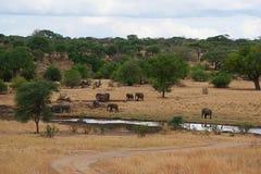 Elephants on Tarangiri-Ngorongoro Safaris in Africa. Elephants in Tarangiri-Ngorongoro Africa Safari, safari elephants, savanna, elephants in the natural Stock Photo