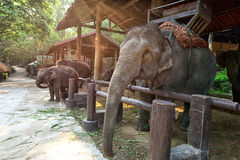Elephants in Thailand Stock Photo