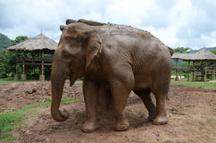 Elephants in Thailand. Injured Elephants in rescue camp for elephants in Chiang Mai, Thailand Stock Photos