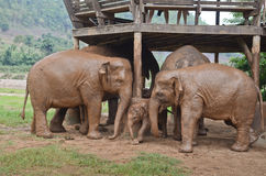Elephants in Thailand Royalty Free Stock Photo