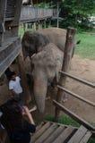 Elephants in Thailand Royalty Free Stock Photos