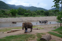 Elephants in Thailand Royalty Free Stock Image