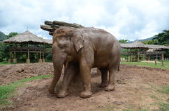 Elephants in Thailand Royalty Free Stock Photography