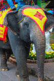 The elephants of thailand. For tourist rides Stock Image
