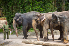 Elephants and their trainer in the Singapore Zoo. Royalty Free Stock Image