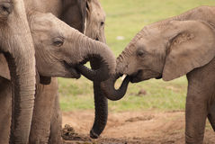 Elephants thirst quenching. Two young elephants having a drink at the water hole at the national Addo Elephant Park, Eastern Cape, South Africa royalty free stock image