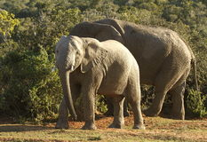 Elephants and thorn trees Royalty Free Stock Image
