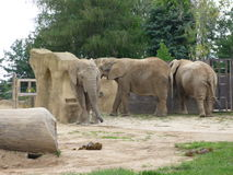 Elephants. Three african elephants in a zoo royalty free stock image