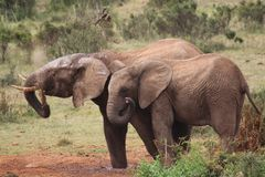 Elephants throwing dirt on backs. Rainy day in nature royalty free stock photo
