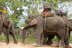 Elephants to ride by tourists Royalty Free Stock Photo