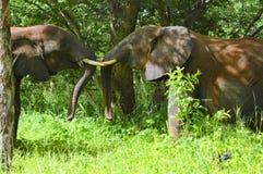 Elephants tossoling their trunks Stock Photos