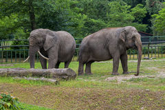 Elephants touching each other gently Royalty Free Stock Photos