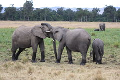 Elephants touching Royalty Free Stock Images