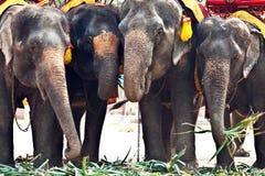 Elephants for tourist rides in Ayutthaja Stock Photos