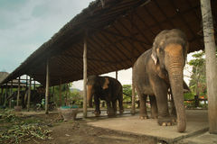 Elephants in a training center in Thailand stock photos