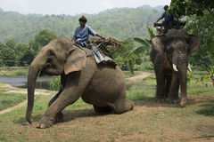 Elephants for trekking Royalty Free Stock Photos