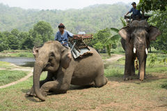 Elephants for trekking Royalty Free Stock Photos