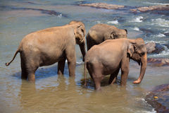 Elephants' trio Royalty Free Stock Image