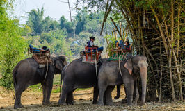 Elephants in the tropical forest. Of Thailand Royalty Free Stock Photo