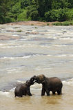 Elephants Trunk Wrestling in the River Stock Photography