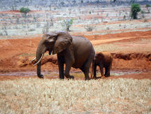 Elephants in Tsavo Stock Photo