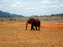 Elephants in Tsavo Stock Photos