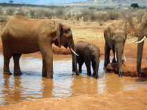 Elephants in Tsavo Stock Images