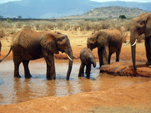 Elephants in Tsavo Royalty Free Stock Image