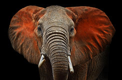 Elephants of Tsavo. Beautiful African elephants in Tsavo Park in Kenya Royalty Free Stock Photo