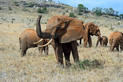 Elephants of Tsavo Royalty Free Stock Images