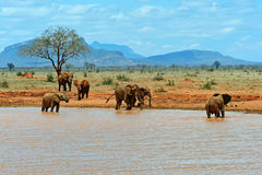 Elephants Tsavo East Royalty Free Stock Photography