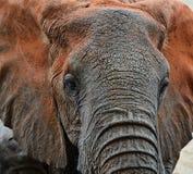 Elephants Tsavo Royalty Free Stock Images