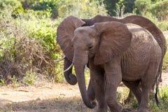 Elephants Tsavo East National Park Royalty Free Stock Photo
