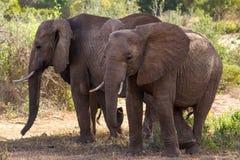 Elephants Tsavo East National Park Royalty Free Stock Photography