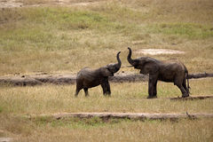 Elephants in Tsavo East Park Stock Photo