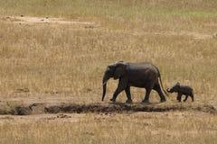 Elephants in Tsavo East Park. Kenya africa Royalty Free Stock Photo