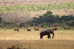 Elephants in Tsavo East Park Stock Photos