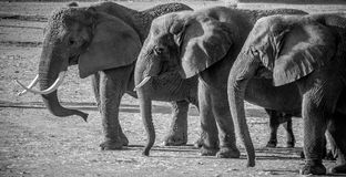 Elephants with tusks walking in a row Royalty Free Stock Image