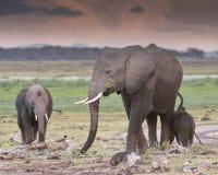 Elephants   in twilight. Elephant and two calfs  feeding on sunset in Amboseli National Reserve, Kenya Stock Images