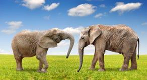 Elephants. Two african elephants on meadow Stock Images