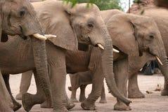 Elephants in Twyfelfontein Camp Stock Photos