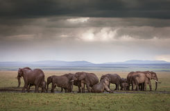 Elephants Under Stormy Skies Stock Photos