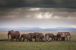 Elephants Under Stormy Skies. An Elephant family mud bath after rains in the Masai Mara, Kenya Stock Photos