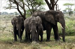 Elephants under a tree. Stock Images
