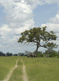 Elephants under a tree in Botswana Royalty Free Stock Photos
